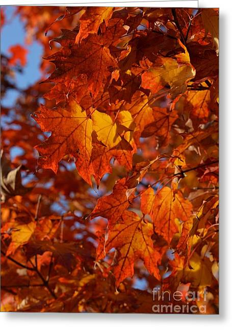 Autumn Maple Leaves 2 Greeting Card by Fiona Craig