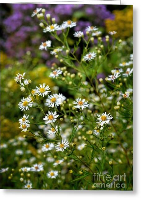 A Summer Evening Greeting Cards - Autumn - Wildflowers - Asters Greeting Card by Henry Kowalski