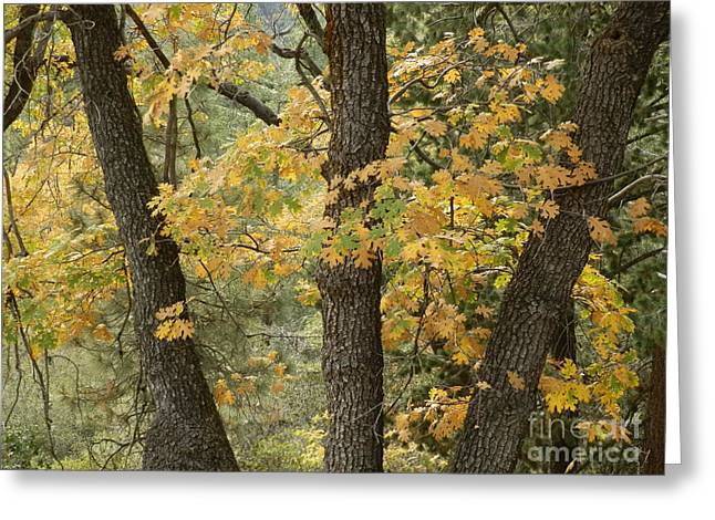 Three Trees Greeting Cards - Autumns Calling Greeting Card by Robert Ball