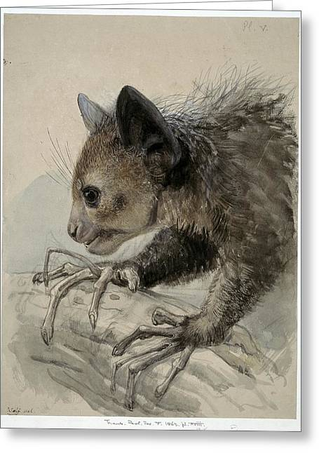 Eutheria Greeting Cards - Aye-aye, artwork Greeting Card by Science Photo Library