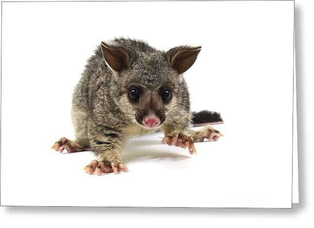 Brushtail Greeting Cards - Baby Common Brushtail Possum Greeting Card by Gerry Pearce