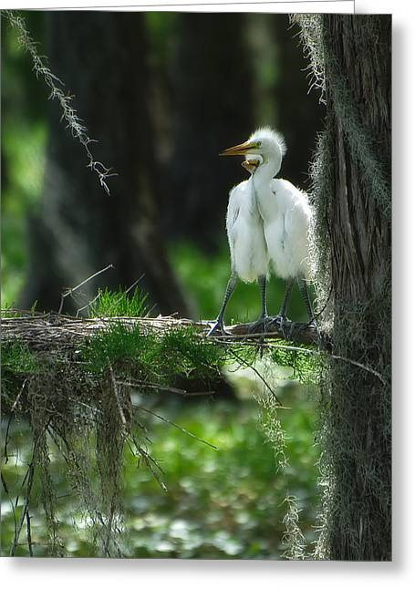 Ardea Greeting Cards - Baby Great Egrets with Nest Greeting Card by Rich Leighton