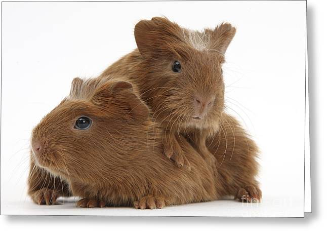 Baby Mammals Greeting Cards - Baby Guinea Pigs Greeting Card by Mark Taylor