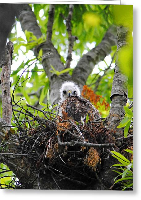 Red Shouldered Hawk Greeting Cards - Baby Red Shouldered Hawk in Nest Greeting Card by Jai Johnson