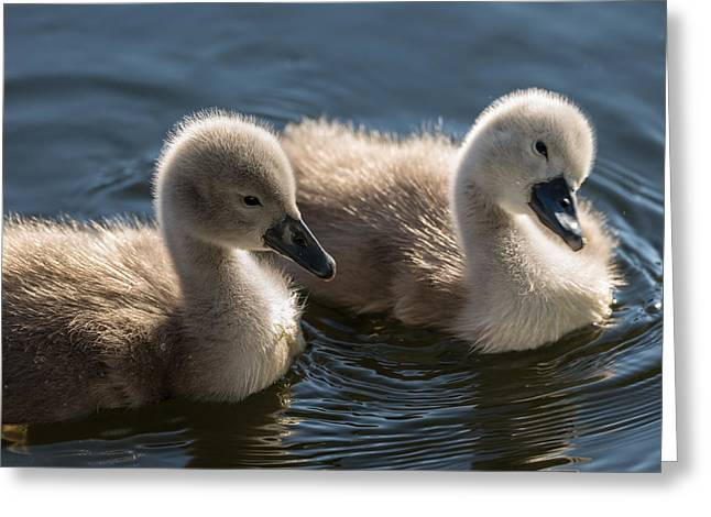 Soft Fur Greeting Cards - Baby swans Greeting Card by Michael Mogensen