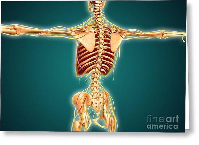 Costae Fluitantes Greeting Cards - Back View Of Human Skeleton Greeting Card by Stocktrek Images