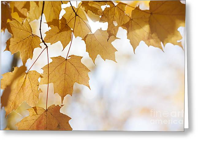 Backlit Greeting Cards - Backlit maple leaves in fall Greeting Card by Elena Elisseeva