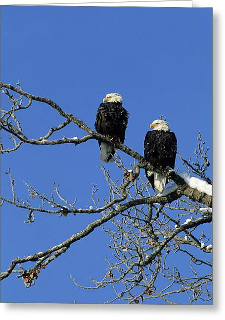 Bald Eagle, Chilkat River, Haines Greeting Card by Gerry Reynolds