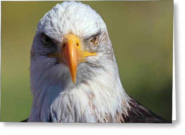 Bald Eagle Greeting Card by Jim Nelson
