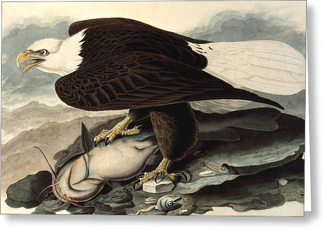 Blanche Greeting Cards - Bald Eagle Greeting Card by John James Audubon