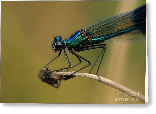 Demoiselles Greeting Cards - Banded Demoiselle damselfly. Greeting Card by Brothers Beerens