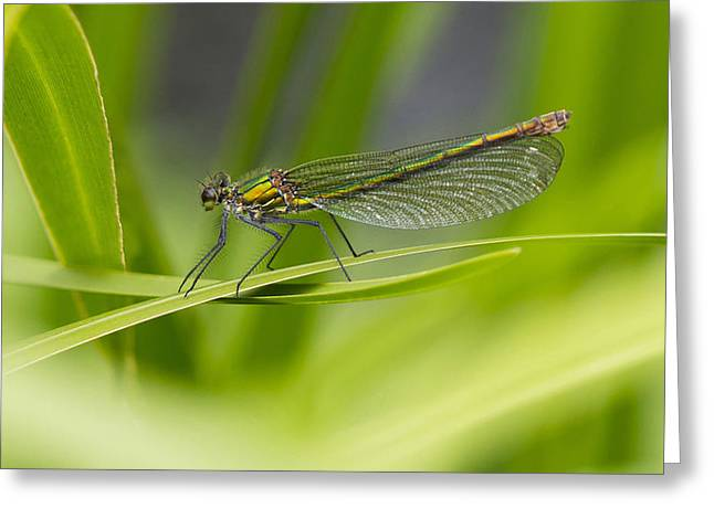 Demoiselles Greeting Cards - Banded Demoiselle  Greeting Card by Steven Poulton