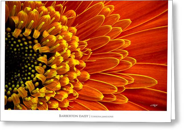 Barberton Daisy Greeting Cards - Barberton daisy - Gerbera jamesonii Greeting Card by Alejandro Reyna