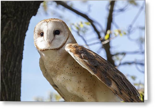 Jack R Perry Greeting Cards - Barn Owl Greeting Card by Jack R Perry