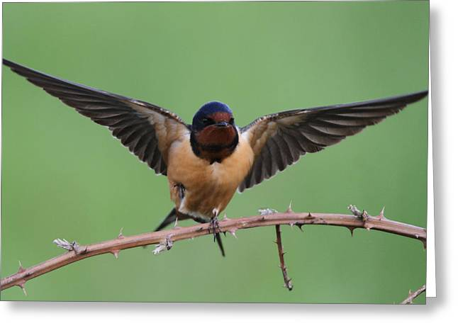 Barn Swallow Greeting Cards - Barn Swallow Greeting Card by Angie Vogel