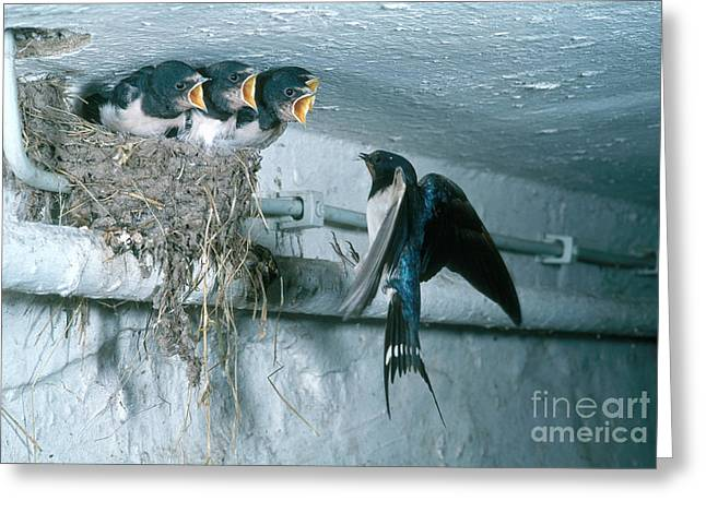 Mud Nest Greeting Cards - Barn Swallows Greeting Card by Hans Reinhard