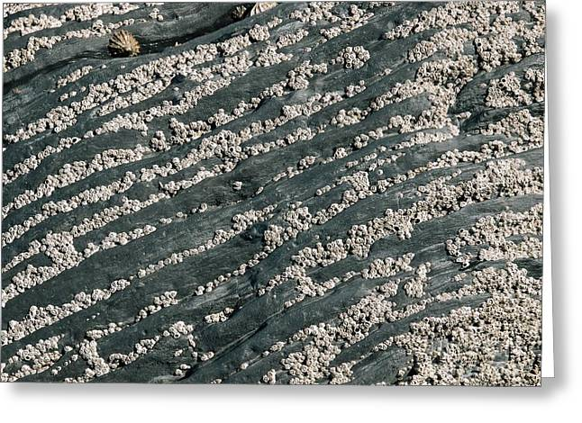 Croyde Greeting Cards - Barnacles On Rocks Greeting Card by Adrian Bicker