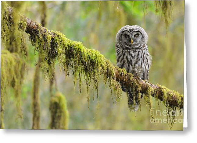 Owlets Greeting Cards - Barred Owl Strix Varia Owlet Greeting Card by Thomas and Pat Leeson