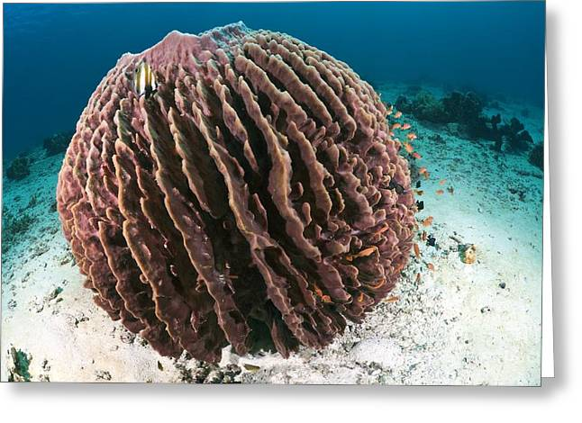 Siliceous Greeting Cards - Barrel Sponge Greeting Card by Matthew Oldfield