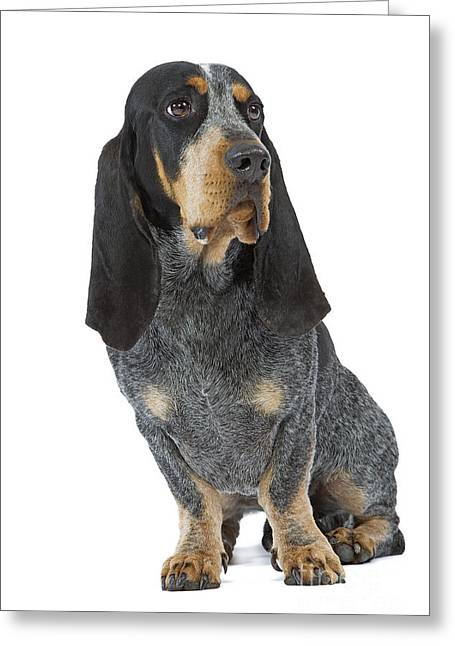 Droopy Greeting Cards - Basset Bleu De Gascogne Greeting Card by Jean-Michel Labat
