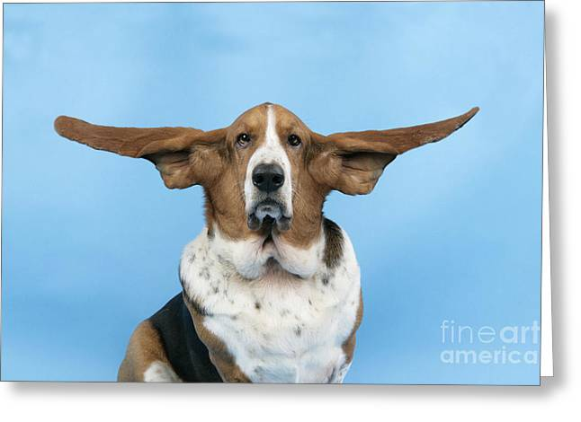 Ears Up Greeting Cards - Basset Hound Dog Greeting Card by John Daniels