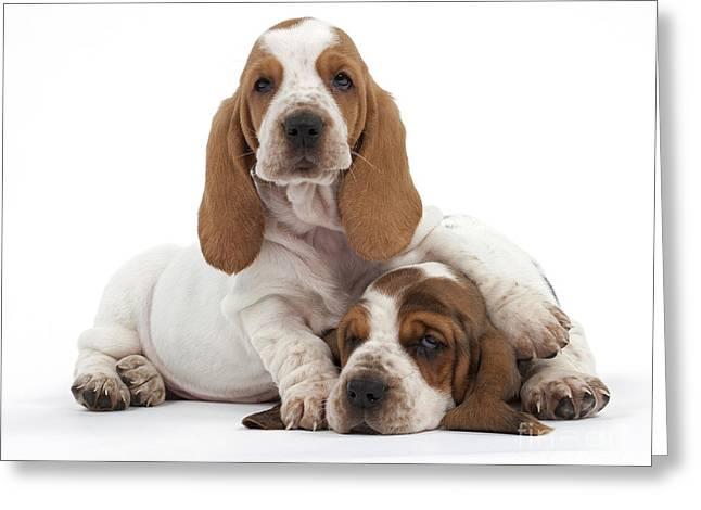 Basset Hound Puppies Greeting Card by Jean-Michel Labat