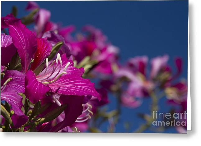 Bauhinia Purpurea - Hawaiian Orchid Tree Greeting Card by Sharon Mau