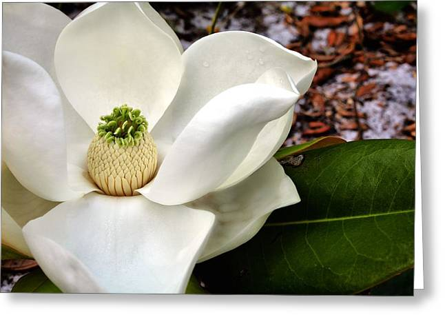 Magnolia Grandiflora Greeting Cards - Beach Flowers  Greeting Card by JC Findley