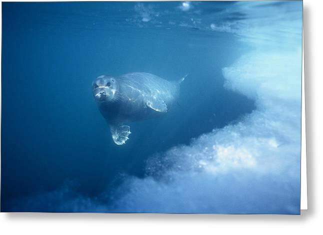 Underwater Photos Greeting Cards - Bearded Seal Underwater Norway Greeting Card by Flip Nicklin