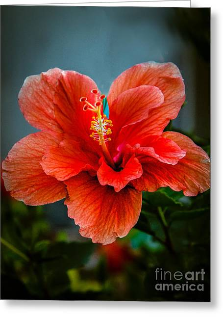 Haybale Greeting Cards - Beautiful Hibiscus Greeting Card by Robert Bales