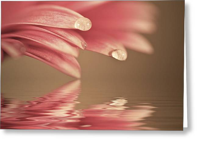 Reflecting Water Greeting Cards - Beautiful muted color gerbera daisy flower reflected in water Greeting Card by Matthew Gibson