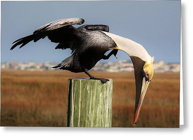 Paulette Thomas Photography Greeting Cards - Beautiful Pelican Greeting Card by Paulette Thomas