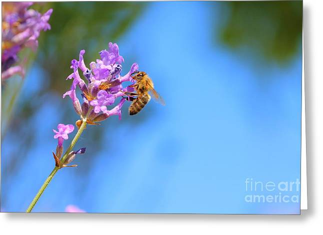 Close Focus Nature Scene Greeting Cards - Bee on lavender Greeting Card by Gregory DUBUS