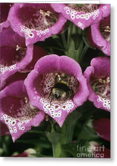 Adaptation Greeting Cards - Bee Pollination Greeting Card by Dr Jeremy Burgess