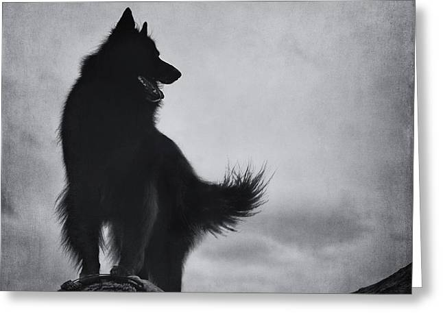 Sheepdog Greeting Cards - Belgian Shepherd Groenendael 3 Greeting Card by Wolf Shadow  Photography