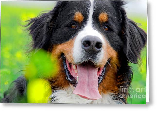 Enjoying Greeting Cards - Bernese Mountain Dog portrait Greeting Card by Michal Bednarek