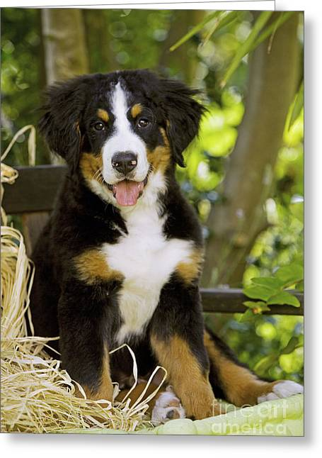 Puppy Sitting Greeting Cards - Bernese Mountain Puppy Greeting Card by Jean-Michel Labat