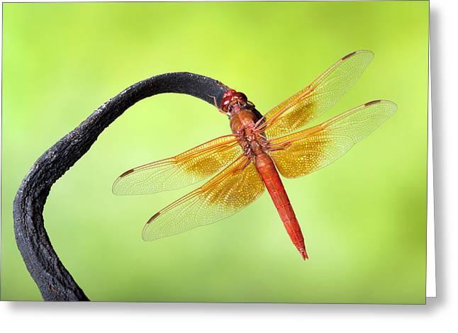 Robert Jensen Greeting Cards - Big red skimmer dragonfly Greeting Card by Robert Jensen