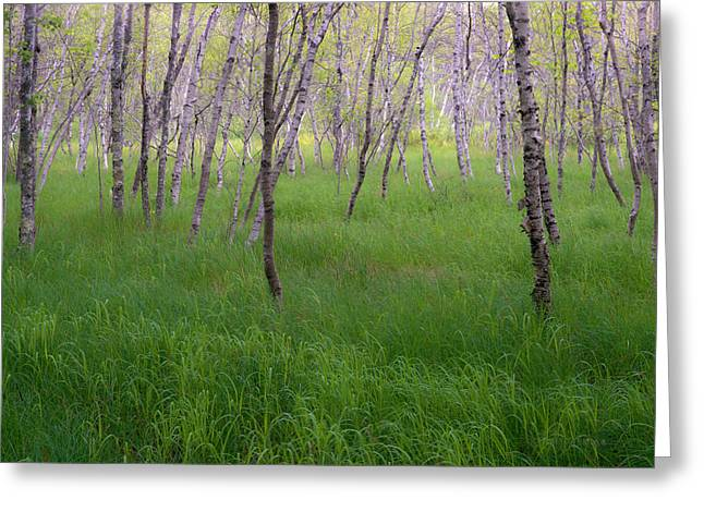 Birch Tree Greeting Cards - Birch Trees In The Great Meadow, Acadia Greeting Card by Panoramic Images