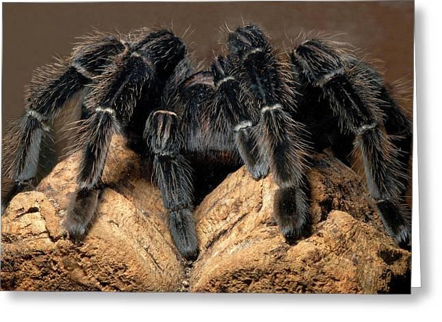 Bird-eating Spider Greeting Card by Nigel Downer