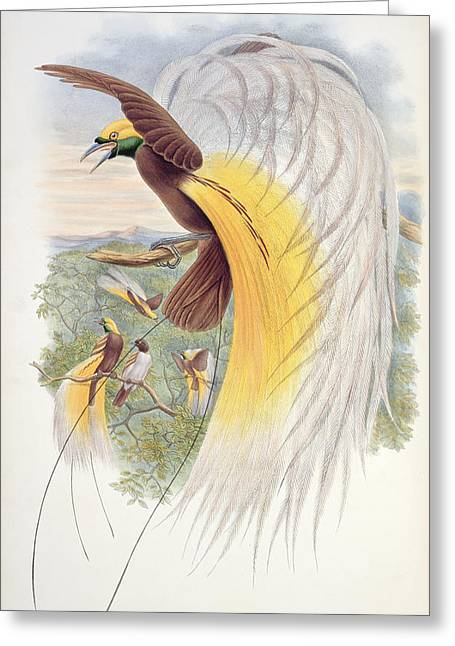 Bird Of Paradise Greeting Cards - Bird of Paradise Greeting Card by John Gould