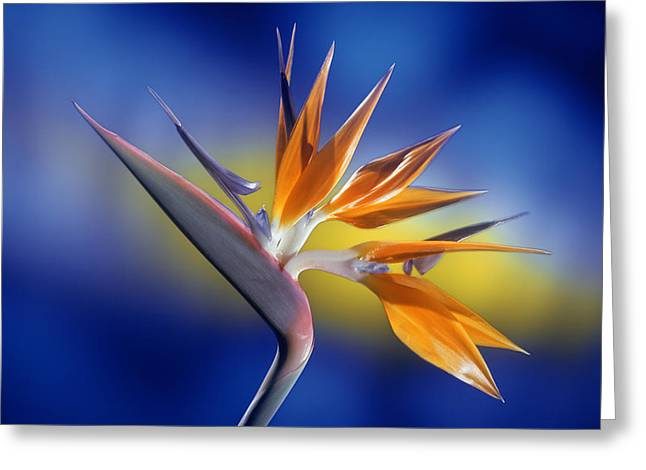 Canary Yellow Greeting Cards - Bird of Paradise Greeting Card by Kirk Ellison