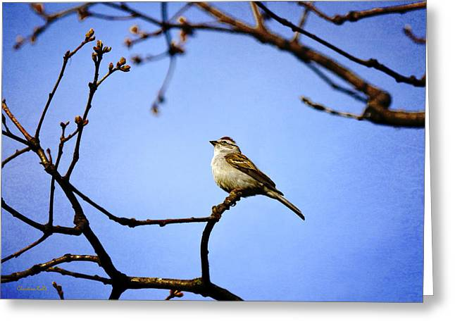 Bird In Tree Greeting Cards - Chipping Sparrow in Tree Greeting Card by Christina Rollo
