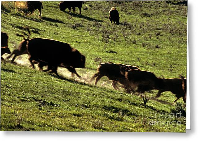 The American Buffalo Greeting Cards - Bison Herd Running Greeting Card by William H. Mullins