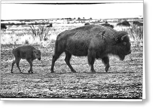 Bison Photos Greeting Cards - Bison Mother and Calf Greeting Card by Melany Sarafis