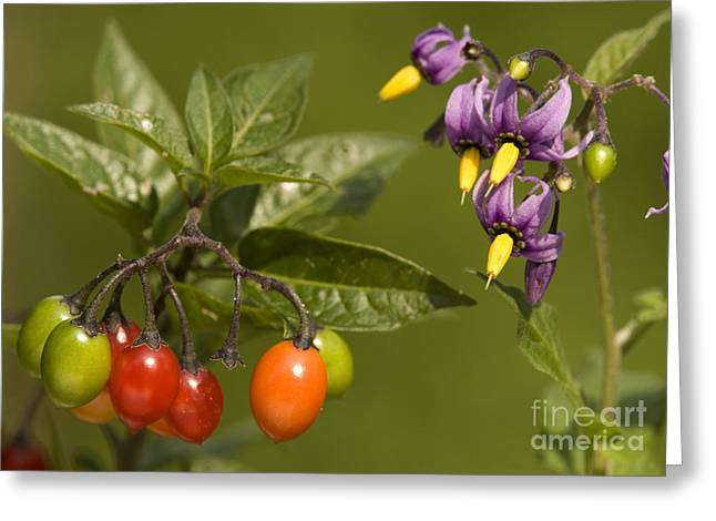 Bittersweet Greeting Cards - Bittersweet Solanum Dulcamara Greeting Card by Bob Gibbons