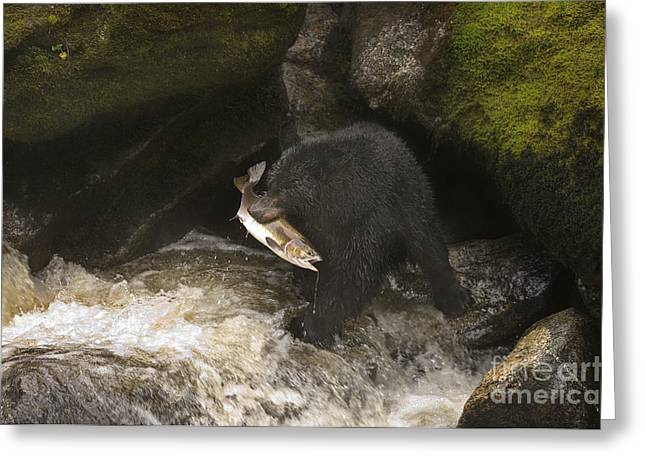 Fishing Creek Greeting Cards - Black Bear With Salmon Greeting Card by Ron Sanford