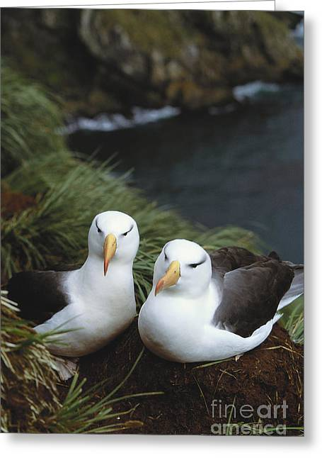 Diomedea Melanophris Greeting Cards - Black-browed Albatross Greeting Card by Art Wolfe