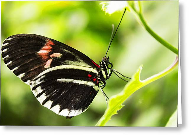 Butterflies Pyrography Greeting Cards - Black butterfly Greeting Card by Martin Hristov