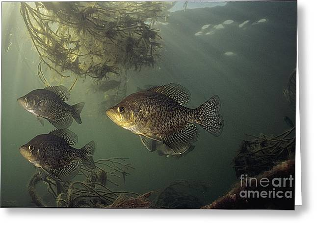 Black Crappie Trio Greeting Card by Engbretson Underwater Photography